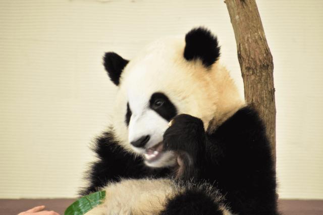 ジャイアントパンダ 動物園 どこ